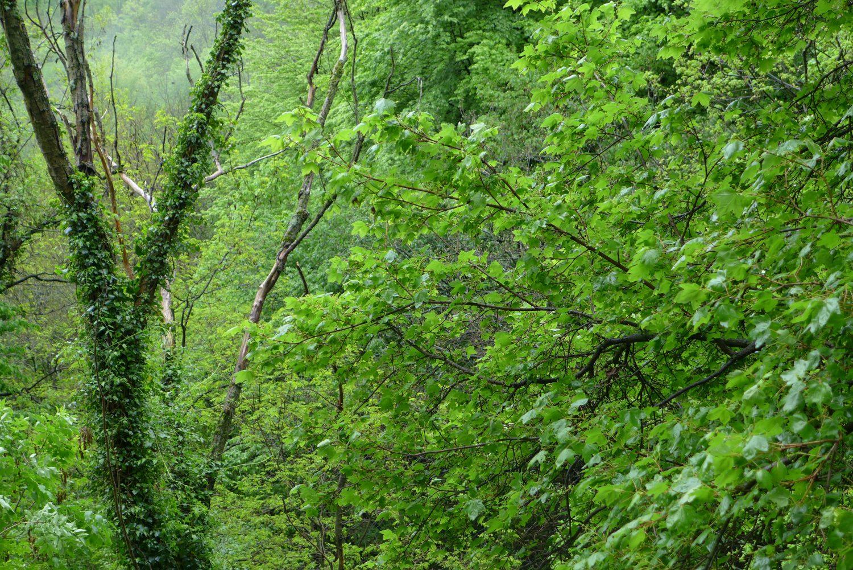 Forest by the cave of San Giovanni d'Antro vel Sveti Ivan v Čelè, 20th April 2014